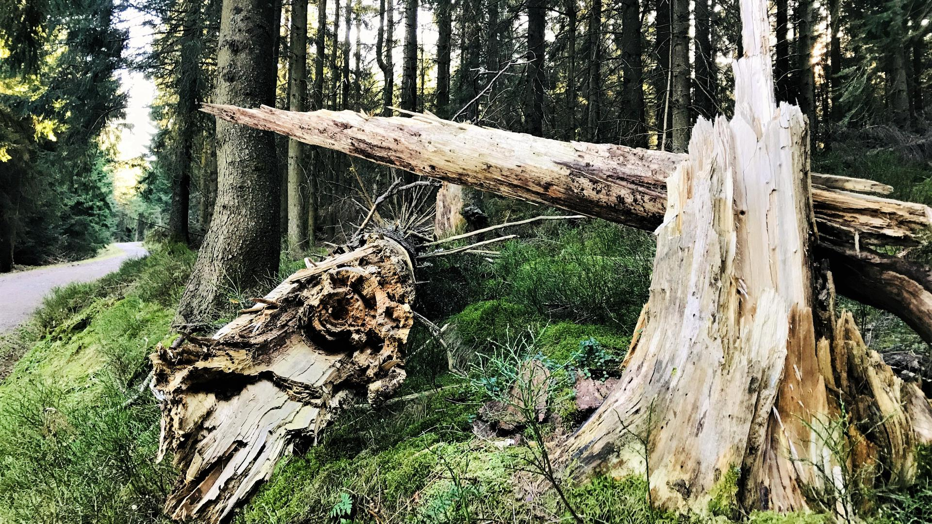 Natur Natur sein lassen: Das gilt im Nationalpark Schwarzwald zwischen Freudenstadt und Baden-Baden. Die Aufnahme entstand im nördlichen Teilgebiet im Bereich Badener Höhe.