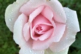 Besondere Exemplare der Königing der Blumen können im Rosenneuheitengarten auf dem Beutig in Baden-Baden bewundert werden.