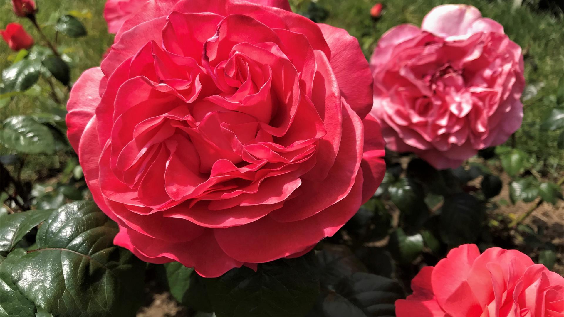 In einem Beet im Rosenneuheitengarten Im Beutig in Baden-Baden blüht diese Rose in einem leuchtenden Rot.