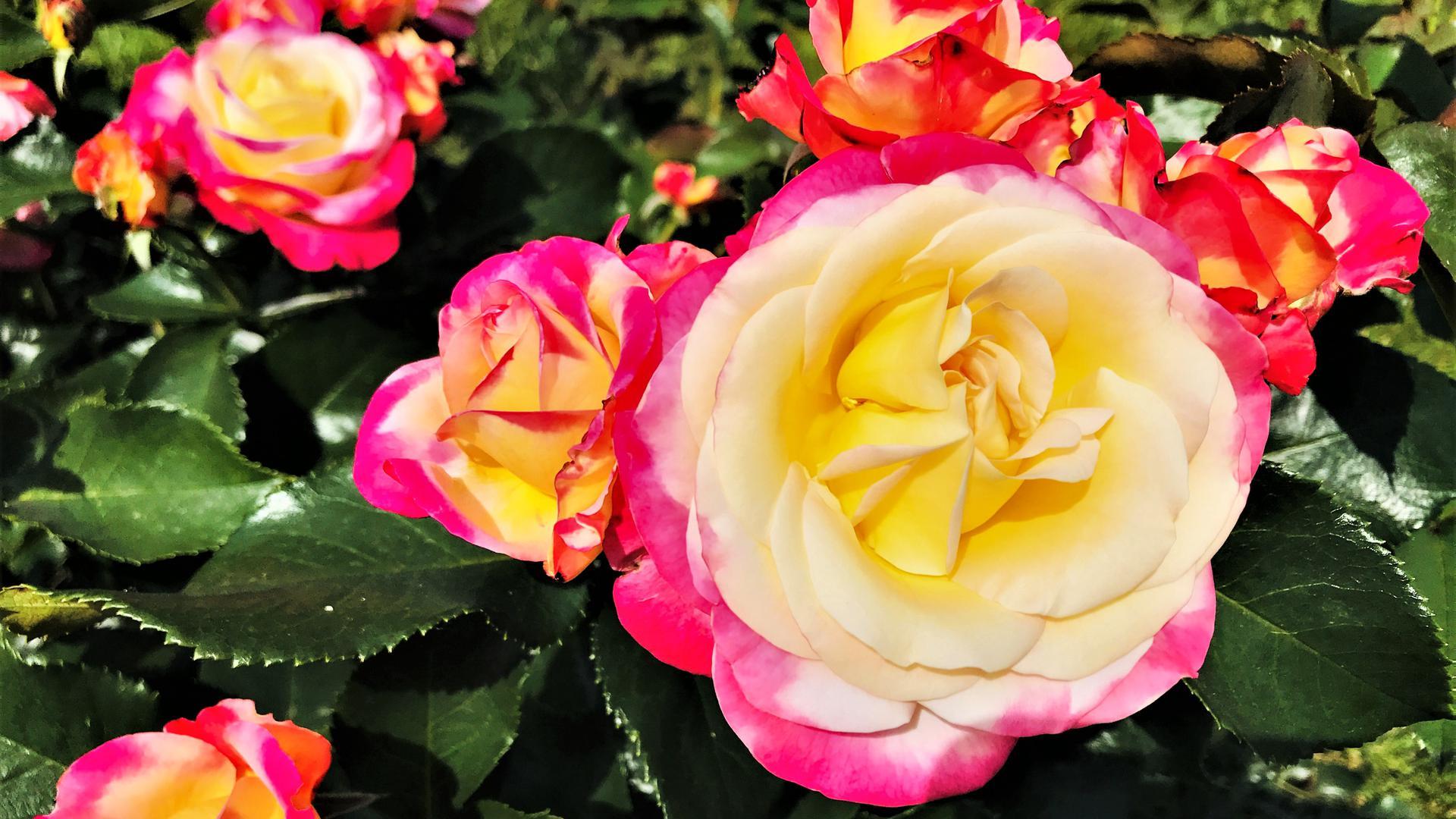 Diese Rose wächst in einem Beet für den  69. Internationalen Rosenneuheitenwettbewerb. Insgesamt sind 127 Neuzüchtungen von Rosenzüchtern aus elf Ländern  im Rennen.