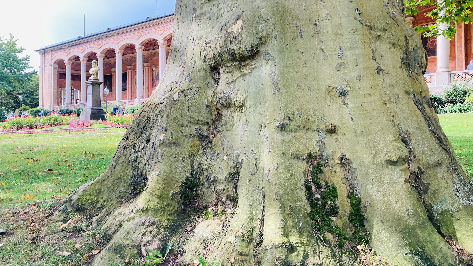 Vor der Trinkhalle in Baden-Baden steht ein mächtiger Baum.