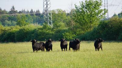 Sechs Wasserbüffel stehen auf der grünen Wiese. Im Hintergrund sind Wald und Strommasten erkennbar.