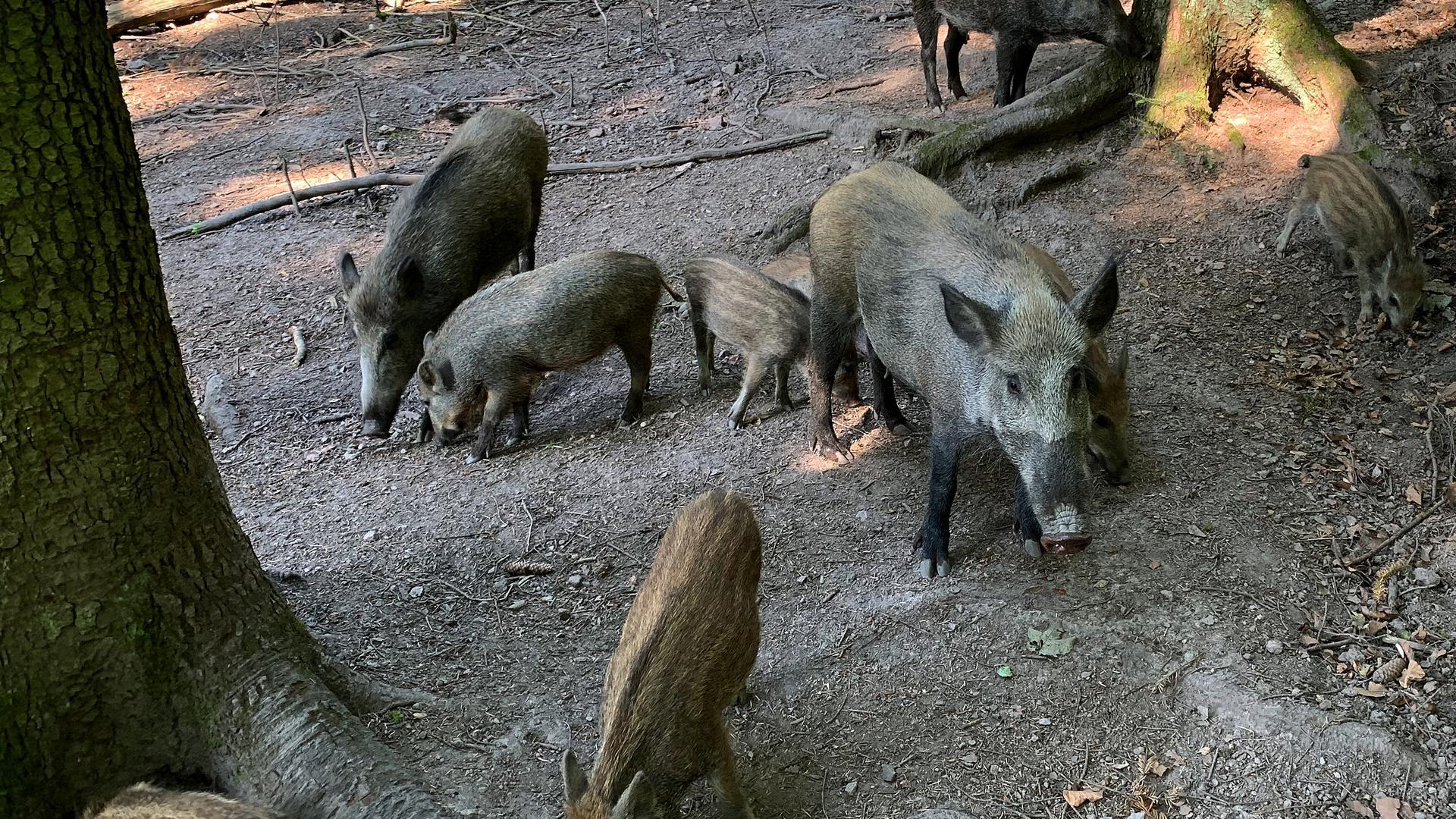 Wildschwein-Muttertier mit Frischlingen