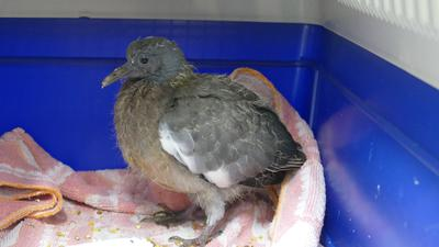 Auch eine Babytaube hat Zuflucht im Baden-Badener Tierheim gefunden.