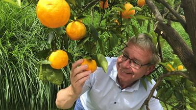 Der Chef der Parks und Gärten in Baden-Baden, Markus Brunsing, begutachtet die verlockenden Orangen einer Kübelpflanze im Rosenneuheitengarten.