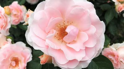 """Die Rose """"Royale Estelle"""" hat den Ehrenpreis """"Goldene Rose von Baden-Baden"""" beim Internationalen Rosenneuheitenwettbewerb gewonnen."""