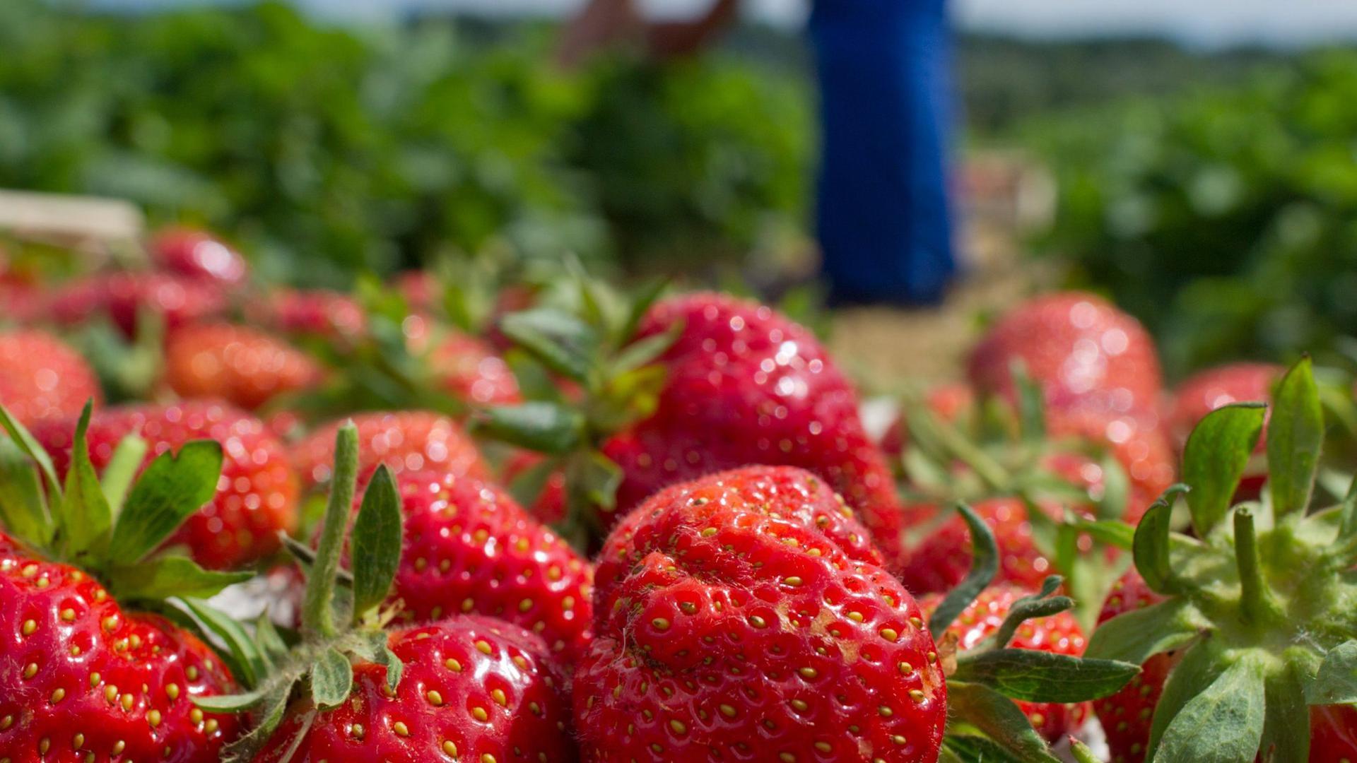 Bedenkenloser Genuss: Nach Auskunft des Rathauses weisen Erdbeeren keine gesundheitsgefährdende PFC-Belastung auf.