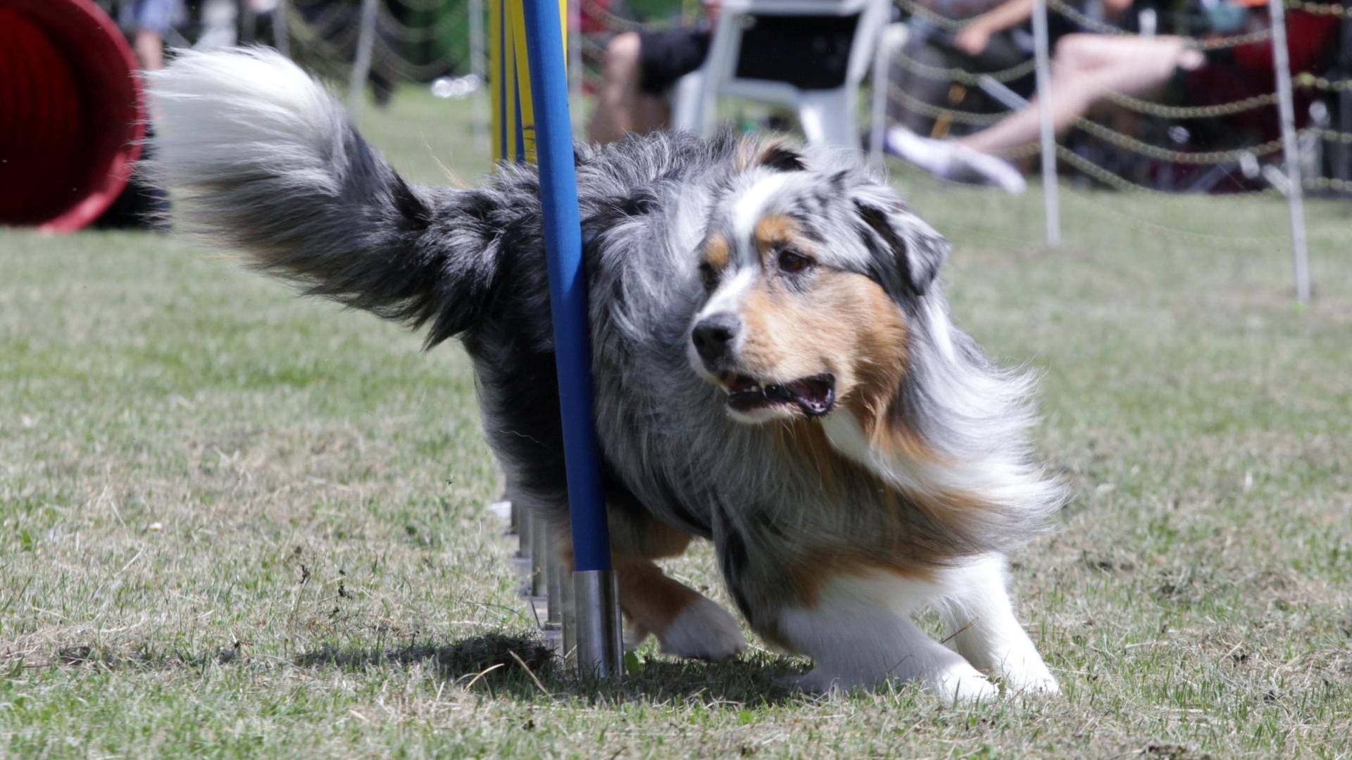 Ein Hund beim Agility-Training im Stangenslalom.