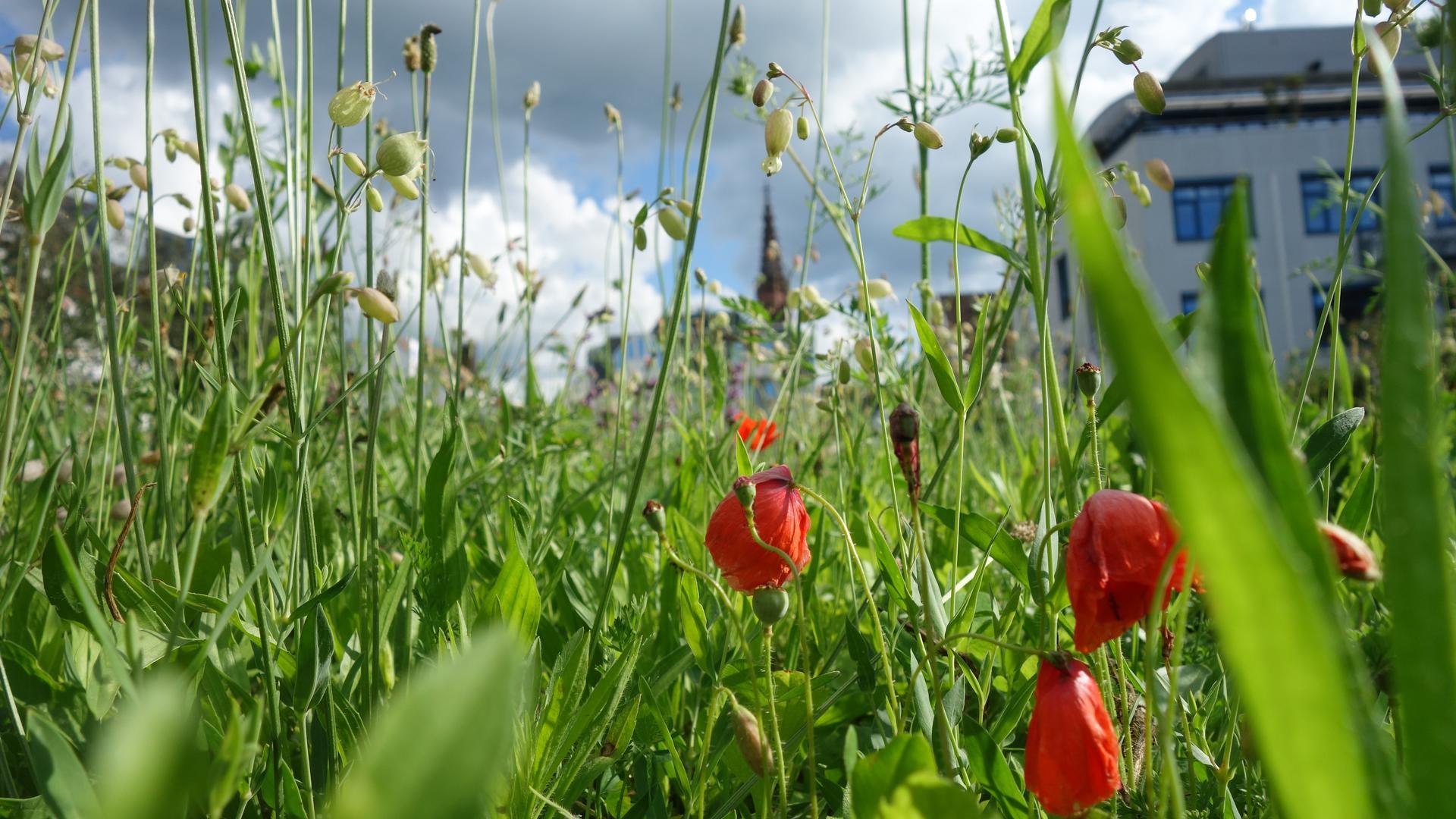 Wilde Innenstadt: In Sichtweite zum Bühler Kirchtum gibt es mitten in der Innenstadt eine reich blühende Blumenwiese als Refugium für viele Insekten.
