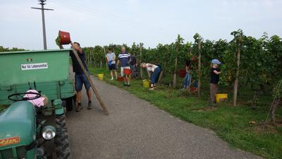 Alle in Aktion: Winzerfamilie Himmel mit Helfern lesen die ersten Findling-Trauben in den Reben Richtung Eisental.