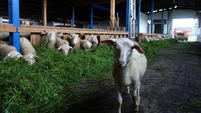 Frisches Futter von den umliegenden Wiesen lassen sich die Schafe von Yvonne Zick und Matthias Markolf in ihrem Stall in Moos schmecken.