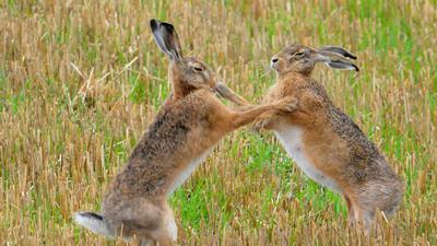 Feldhasen tanzen vor Paarung.