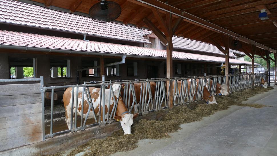 Der Kuhstall auf dem Aspichhof: Während das Jungvieh auf der Weide in Neusatzeck steht, sind für die Milchkühe Großventilatoren installiert worden.