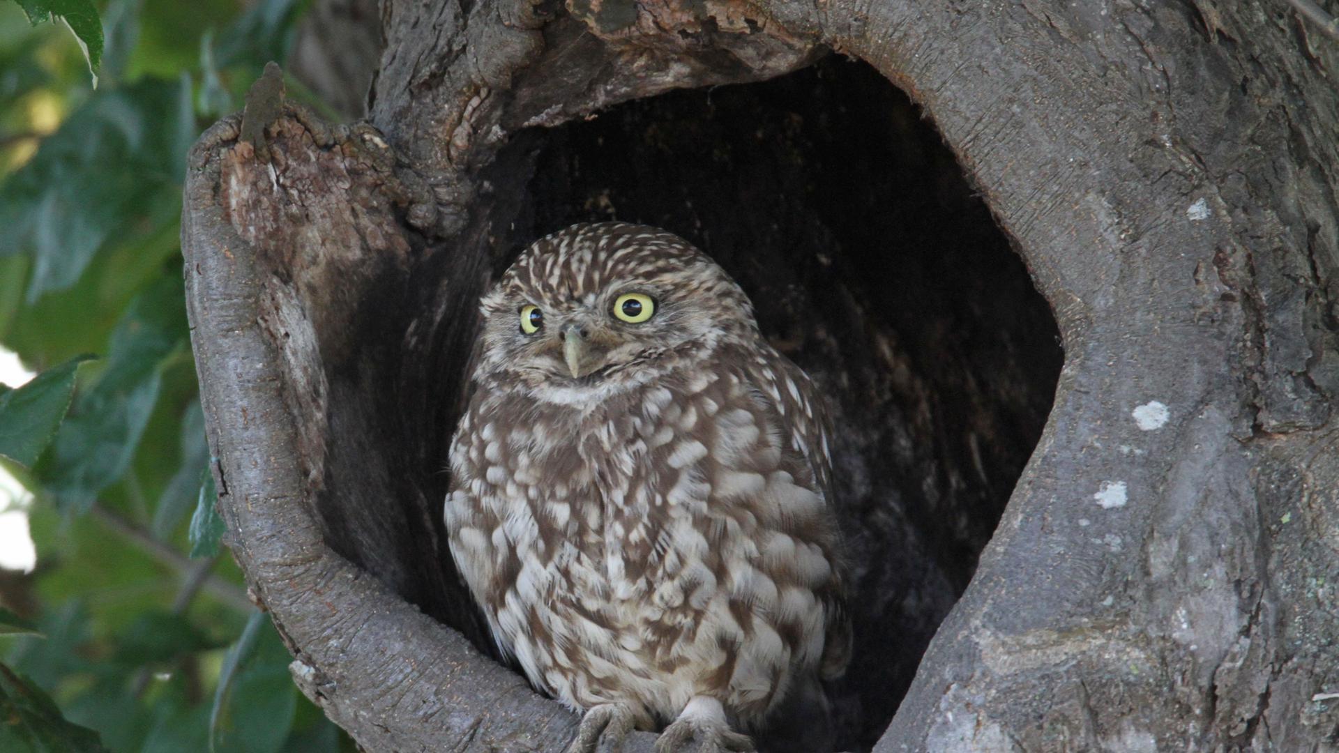 Ein Steinkauz sitzt in einer Baumhöhle und schaut Richtung Betrachter