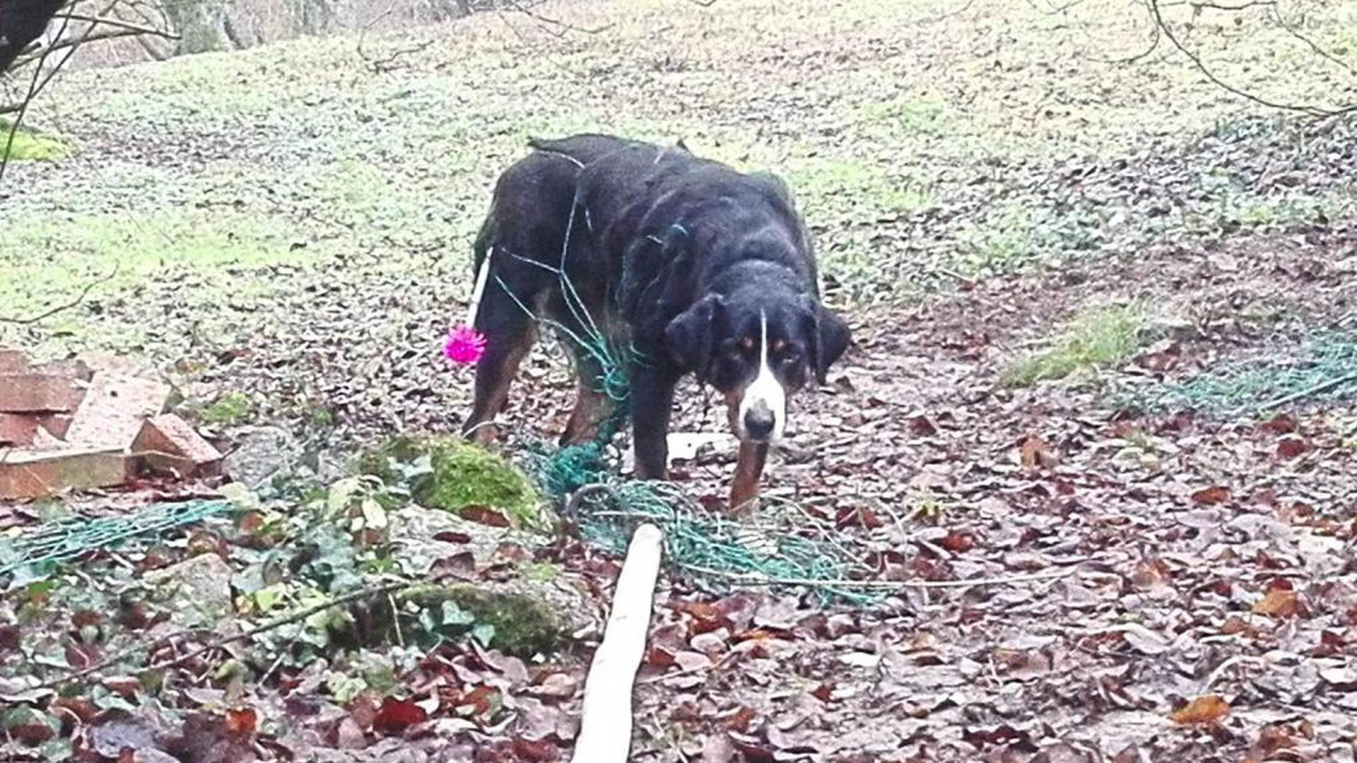 Komplett verfangen – und das über Stunden – hatte sich dieser Hund in einem Zaun. Er war derart in Panik, dass die Polizei ihn nicht befreien konnte und das Tier betäubt werden musste.