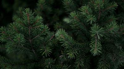Nahaufnahme eines Tannenbaums.