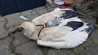 Jungstorch Münsti aus Stollhofen mit einem GPS-Sender auf dem Rücken