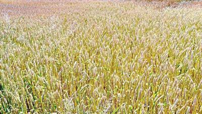 Der Weizenanbau im PFC-Land unterliegt eindeutigen Anbauempfehlungen. Auf belasteten Flächen sollte er nicht mehr angebaut werden.