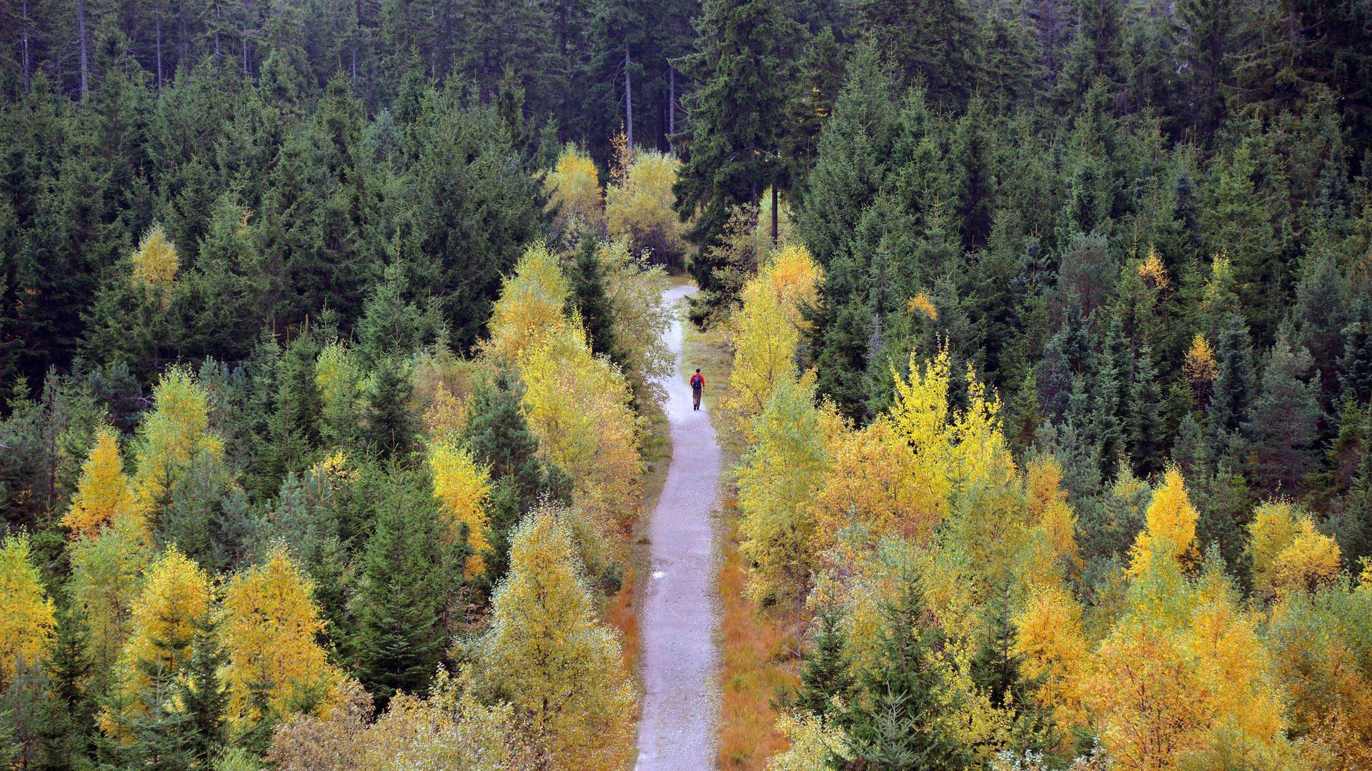 Ein Wanderer geht am 22.10.2013 beim Naturschutzzentrum Kaltenbronn (Baden-Württemberg) im Schwarzwald einen Weg entlang, an dem herbstlich verfärbte Bäume stehen. Foto: Uli Deck/dpa +++(c) dpa - Bildfunk+++