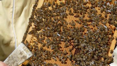 Im Sommer wuselt es im Bienenstock. Die fleißigen Tiere sammeln in den Waben Pollen und Nektar und machen daraus Honig. Das Foto ist im Sommer entstanden.