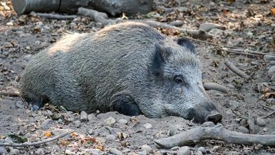Ein Wilschwein im Sand