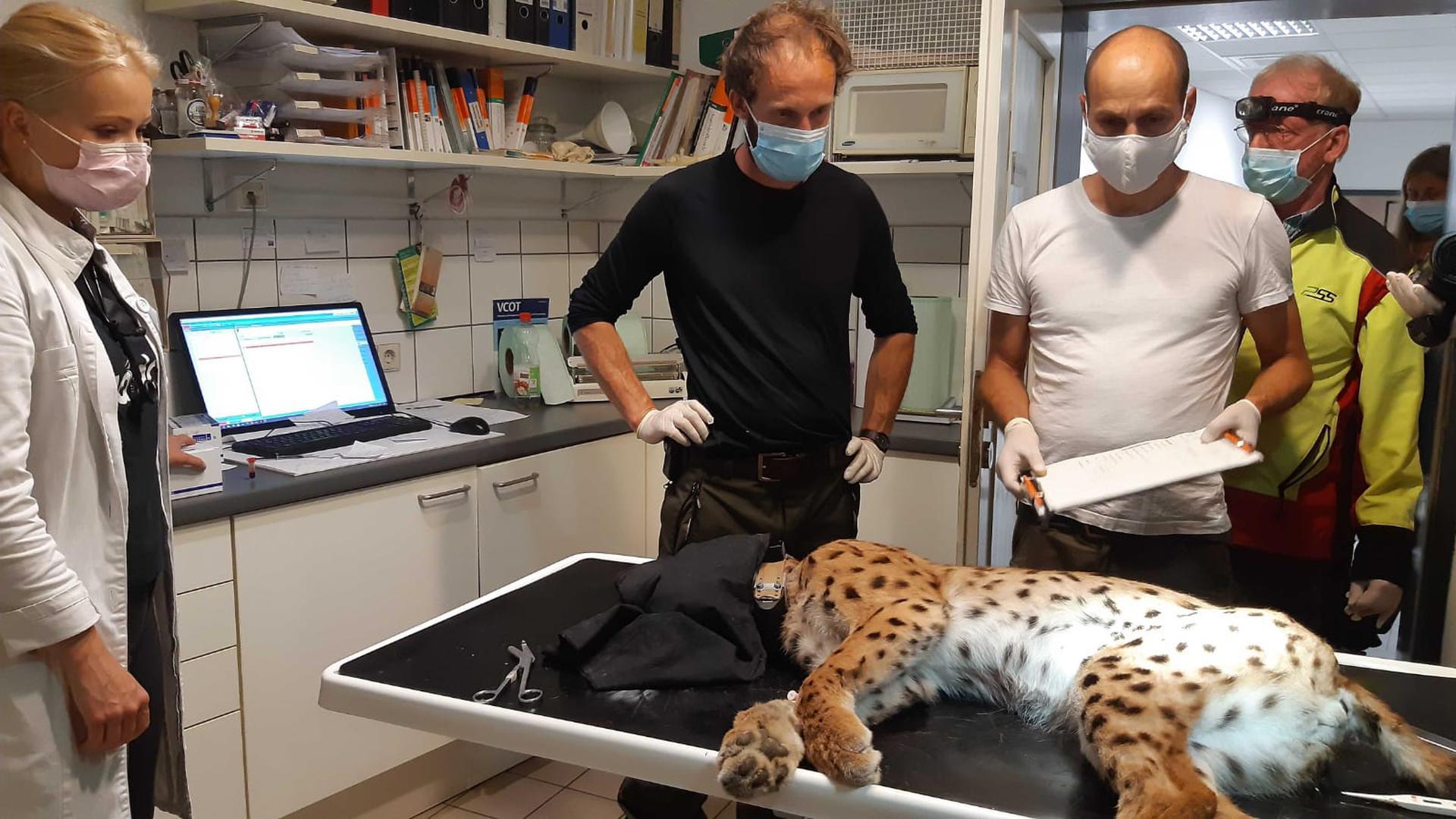 """Veterinärin Charlotte Willuhn (links) und Wildtierexperten untersuchen den Murgtäler Luchs """"Toni""""."""