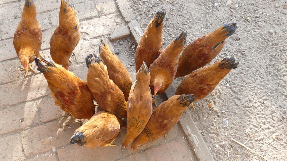 New Hampshire Hühner aus der Zucht von Kleintierzüchter Martin Moser aus Gaggenau-Bad Rotenfels