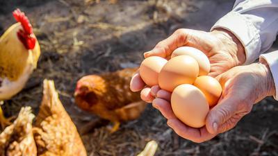 Eine Person hält mehrere Eier in den Händen. Im Hintergrund sind freilaufende Hühner zu sehen.