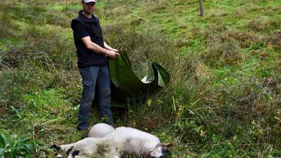 Dieses trächtige Schaf von Christian Striebich in Gausbach fiel im Oktober 2019 dem Angriff des Nordschwarzwälder Wolfs zum Opfer.