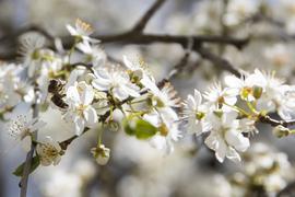 Eine Biene sitzt auf einer Blüte eines Kirschenbaums nahe des Neckars. +++ dpa-Bildfunk +++