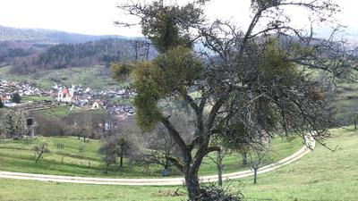 Ein Obstbaum mit zahlreichen Misteln.