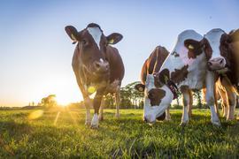 Eine Herde Kühe steht auf einer Weide.