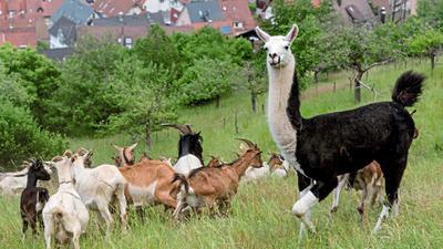 Ungewohntes Bild: Lamas stehen auf der Weide zum Schutz gegen Wolf und Luchs, aber auch gegen wildernde Hunde.
