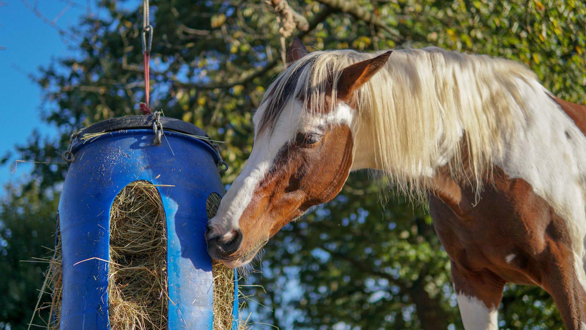 Im Urlaub: Pferde, die normalerweise Reitschüler durch die Halle tragen, haben nun viel Freizeit. Damit sie ihren Job nicht völlig verlernen, werden sie von Reitlehrern geritten.