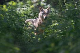 Ein Wolf läuft durch sein Gehege in der Fasanerie. Erstmals seit der Rückkehr des Wolfes nach Hessen ist wieder Wolfsnachwuchs nachgewiesen worden. Ein Wolfspaar (nicht im Bild) im Rheingau-Taunus-Kreis hat Welpen bekommen, wie das Hessische Landesamt für Naturschutz, Umwelt und Geologie (HLNUG) am 26.07.2021 mitteilte. +++ dpa-Bildfunk +++