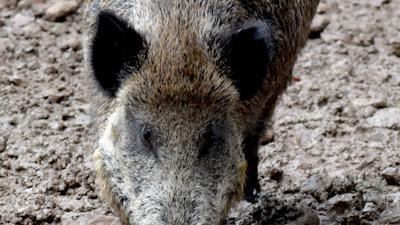 Wildschwein  Breitenbrunnen Sasbachwalden Anima Tierwelt
