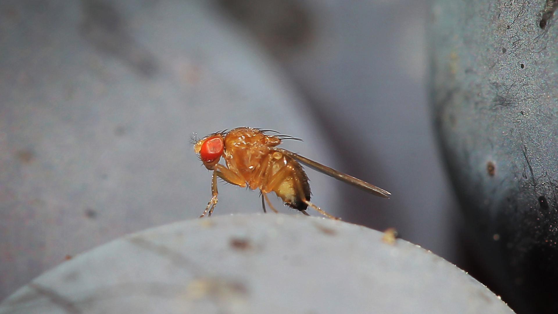 Eine Kirschessigfliege (Drosophila suzukii) sitzt in einem Weinberg in Bensheim an der Bergstraße (Hessen) auf einer Traube der Sorte Portugieser.