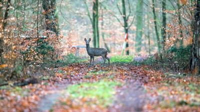 Ein Reh steht in einem Wald.