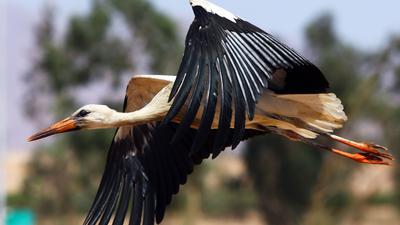Ein Weißstorch fliegt mit leicht ausgebreiteten Flügeln.