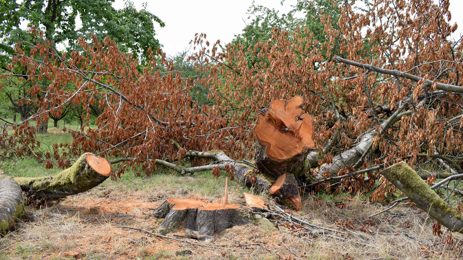 Kranke oder abgestorbene Obstbäume werden teilweise jetzt schon gefällt, damit im Herbst neue gepflanzt werden können.