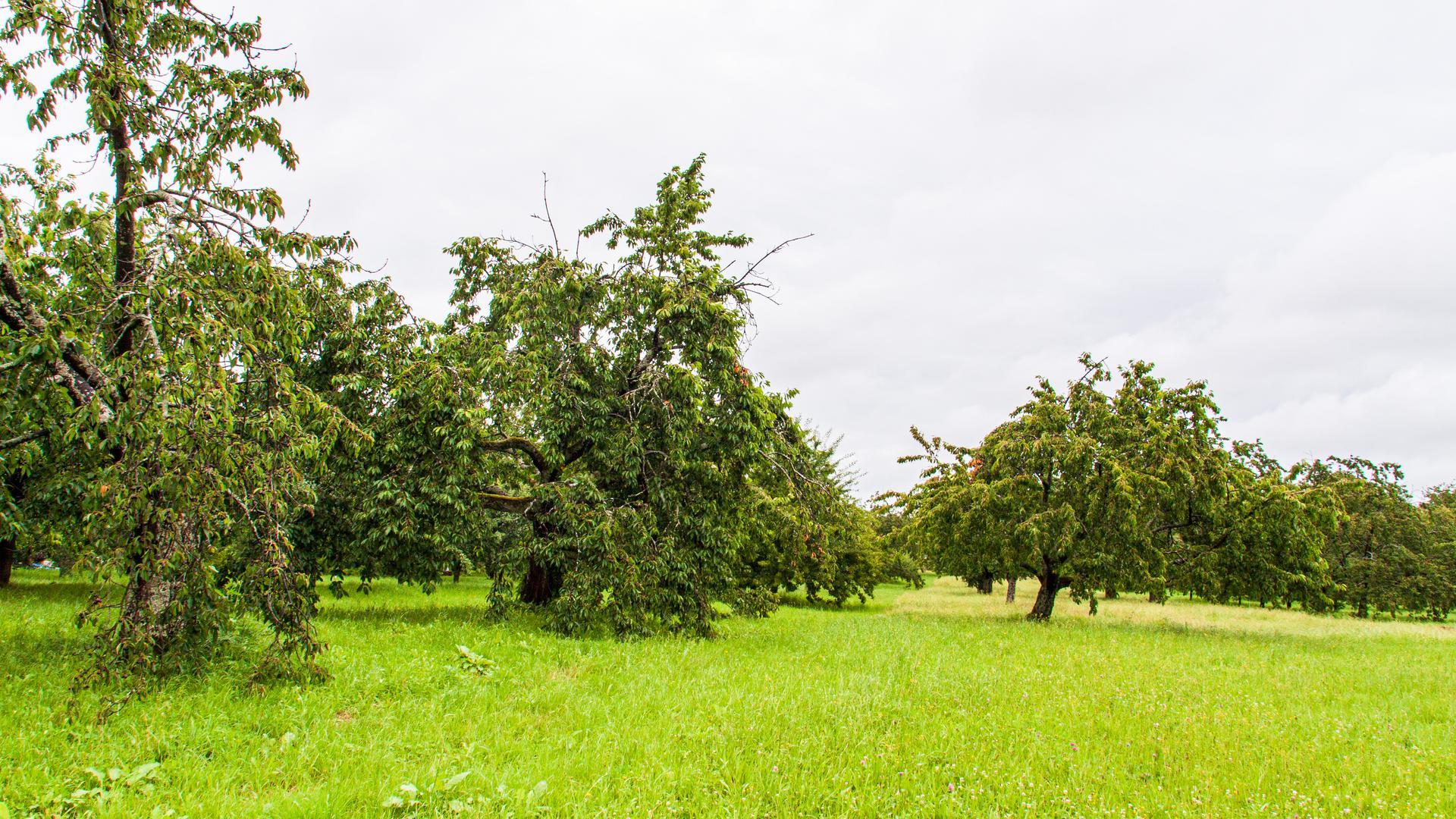 """Obstbäume so weit das Auge reicht. Gut sechs Hektar groß ist das """"Bühli""""-Areal in Mösbach. Nun sollen die Obstbäume Platz machen für ein neues Wohngebiet. Foto: Michael Brück"""