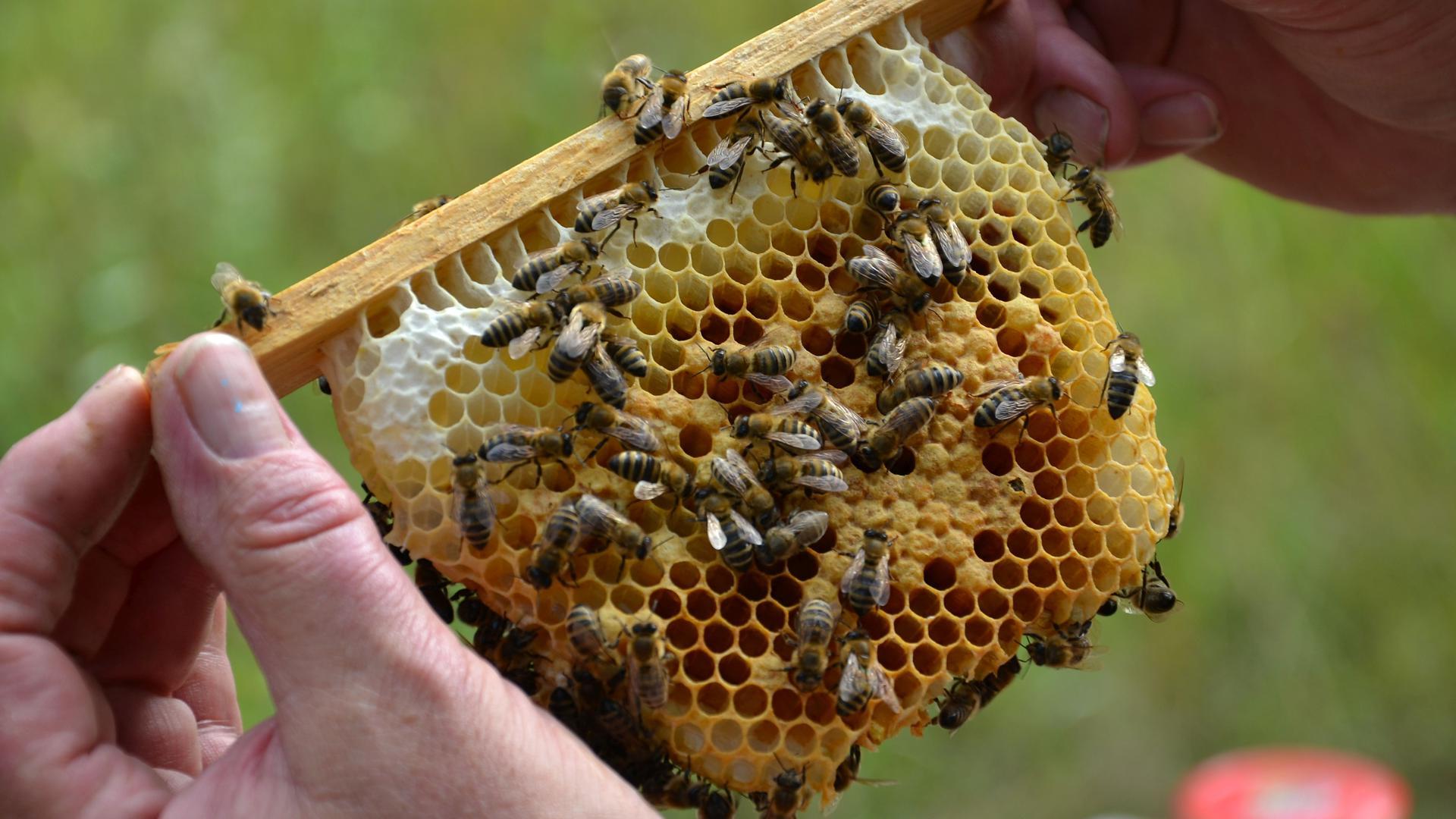 Bienen-Jungvolk auf einem Rahmen mit Waben