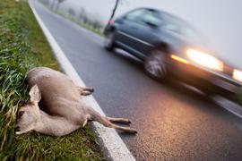 Ein totes Reh liegt nach der Kollision mit einem Auto am Straßenrand einer Landstraße.