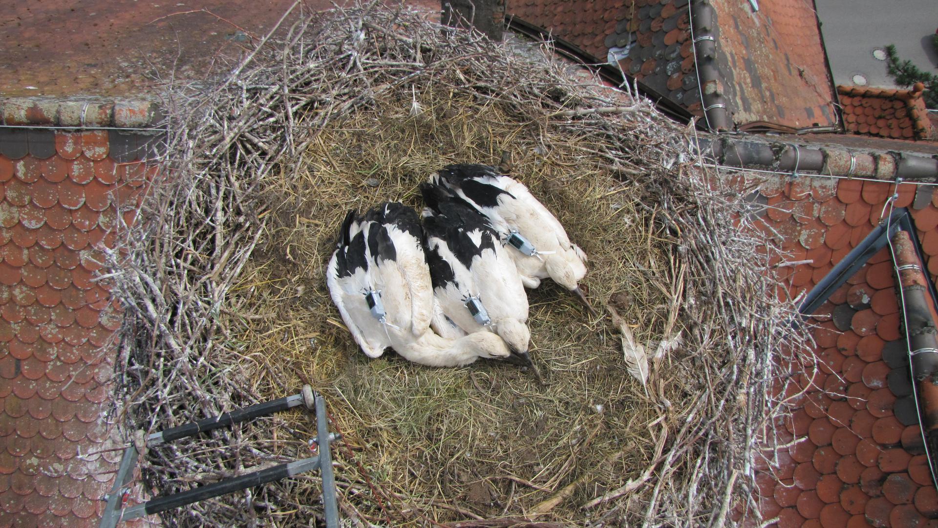Sender auf dem Rücken: Die Störche mit den Namen Wagshurst 2, 3 und 4 wurden im Juni in einem Nest auf der Wagshurster Schule beringt.
