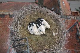 Sender auf dem Rücken: Die Störche mit den Namen Wagshurst 2, 3 und 4 wurden im Juni in diesem Nest auf der Wagshurster Schule beringt und sind auf ihrer Reise inzwischen in Spanien und Mauretanien angekommen.