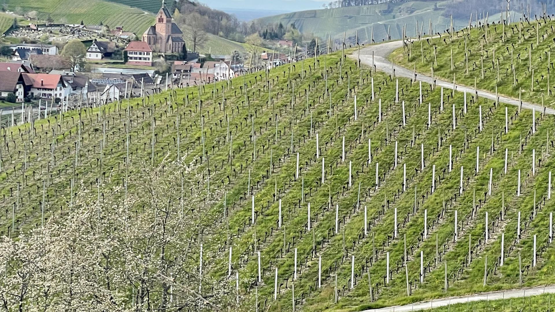 Obst/Weinbau bei Kappelrodeck-Waldulm