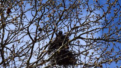Im dichten Geäst einer Baumkrone lugt ein schwarzer Vogel aus seinem Nest.
