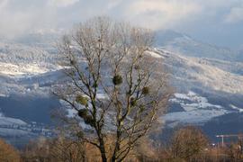 Kugelrund im kahlen Baum: Gerade im Winter wirken die Misteln wie übergroße Vogelnester - hier fotografiert zwischen Gamshurst und Wagshurst.