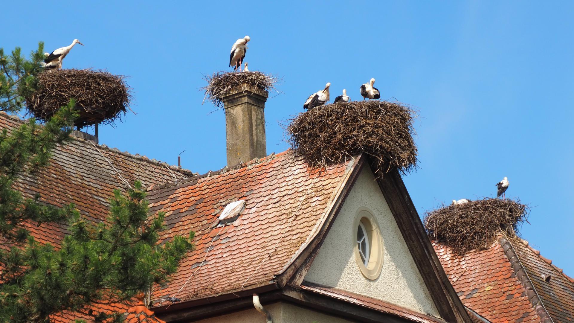 Die Wagshurster Störche auf dem Dach der Maiwaldschule.