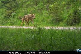 Wolfsrüde GW852m